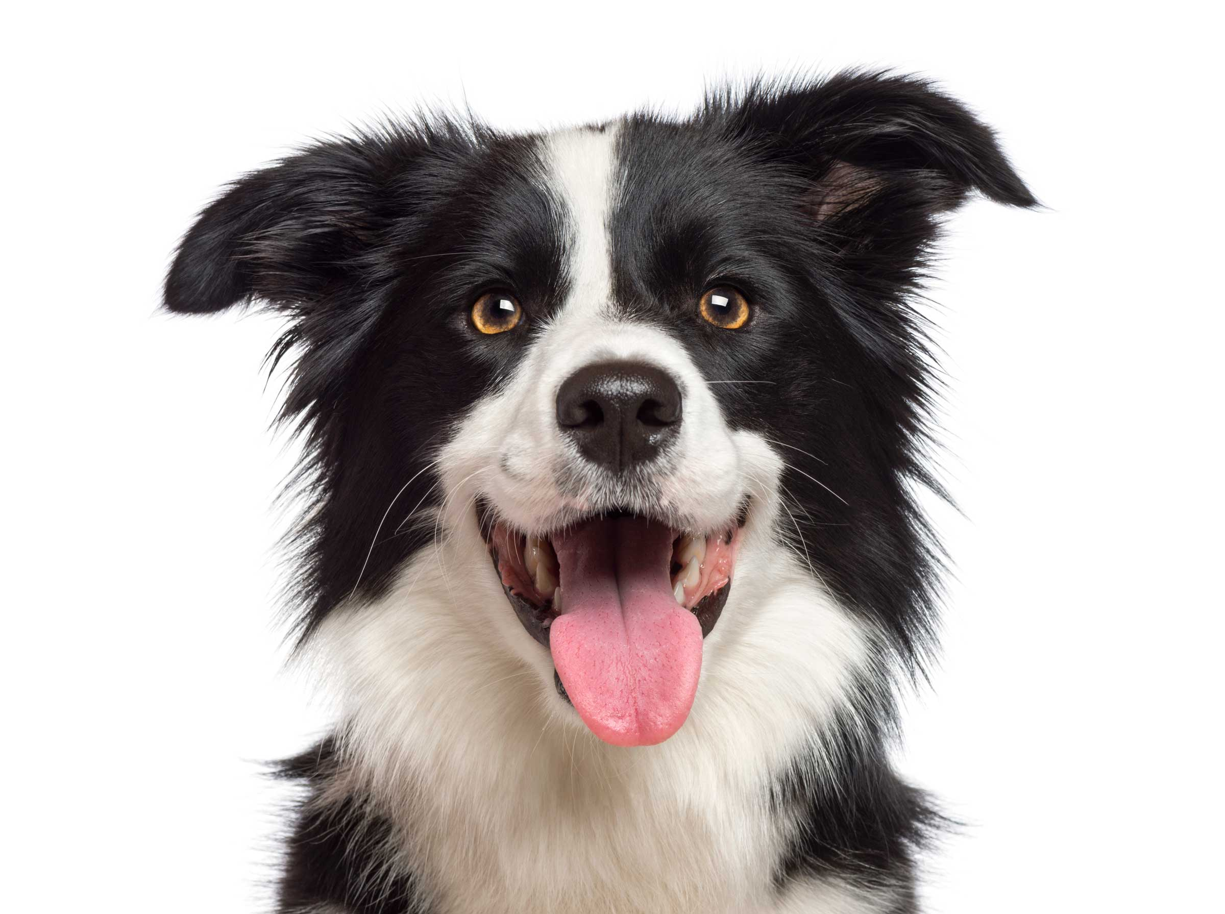 Border Collie in schwarz weiß